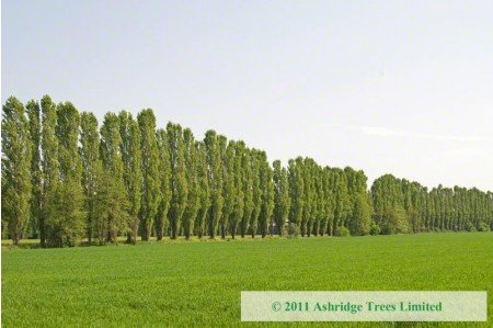 Avenue of Lombardy Poplars