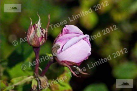 Madame Pierre Oger Shrub Rose