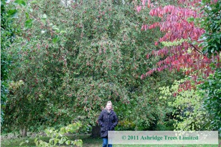 Old, large Malus Charlottae Crabapple