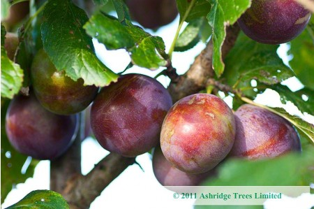 Plum Trees - Marjories Seedling