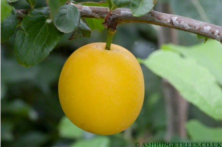 Mirabelle Golden Sphere - Prunus insititia