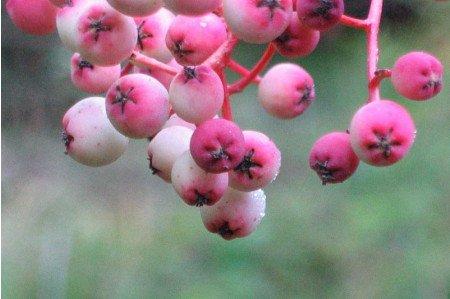 Sorbus vilmorinii Berries