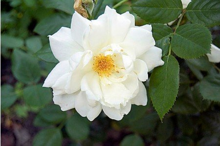 Moonlight - Shrub Roses