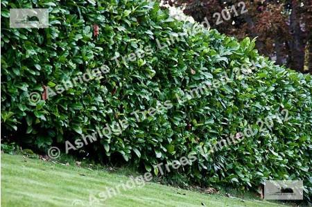 Well clipped Laurel Hedge