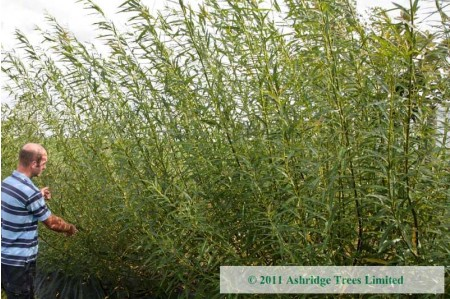 Hybrid Willow Q83 after 1 year
