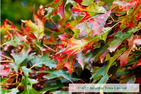 Red Oak Leaves in Early Autumn