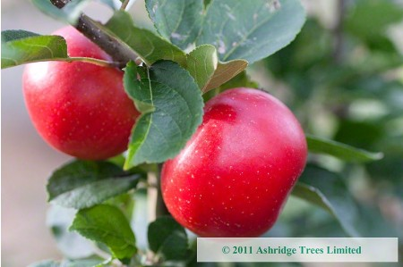 Ripe Discovery Apples