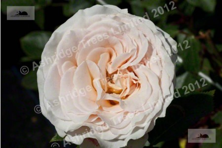 Isnt She Lovely Hybrid Tea Rose