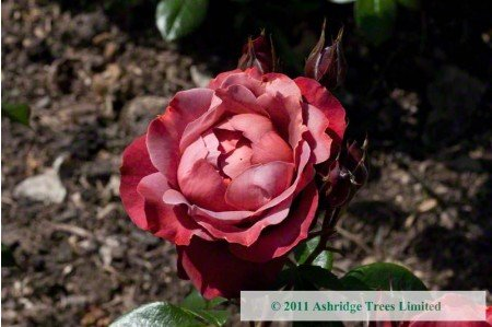 Smoky red Hot Chocolate rose in June