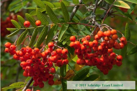 Sorbus aucuparia in Berry