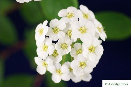 Snowberry Flowers