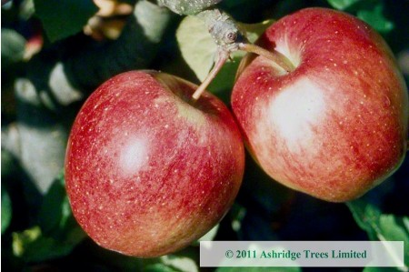 Apple Trees - Saturn