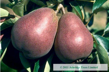 Pear Trees - Sensation