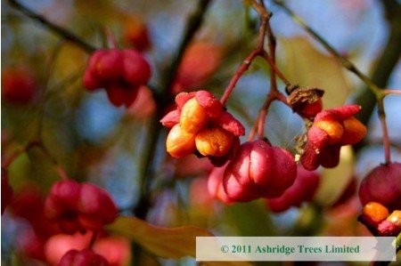 Ripe Spindle Berry