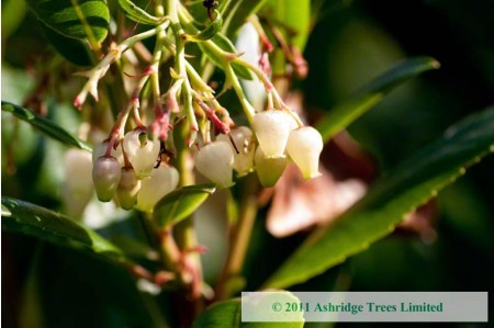 Arbutus unedo in flower in November