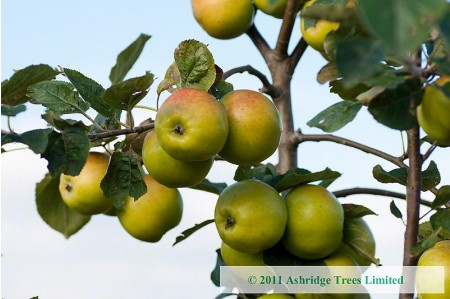 Apple Trees - Sweet Alford - Cider