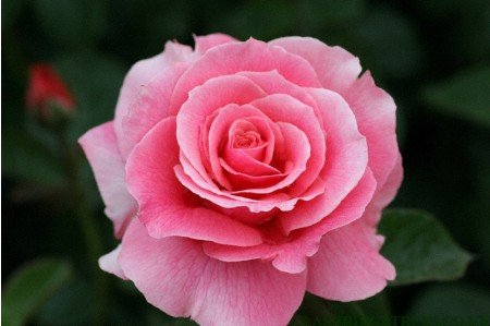 Tickled Pink - Floribunda Roses