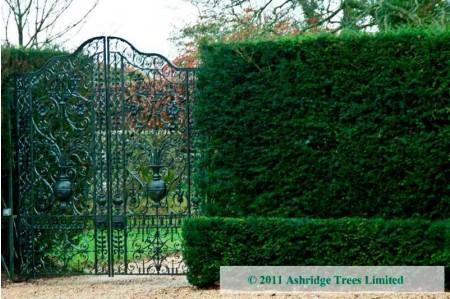 Taxus baccata hedging