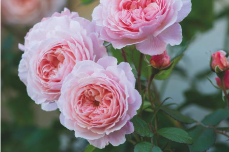 A Shropshire Lad® Rose (Ausled)