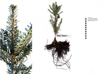 Grand fir - bareroot