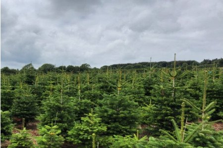 Non-Drop Christmas Trees ready to be harvested