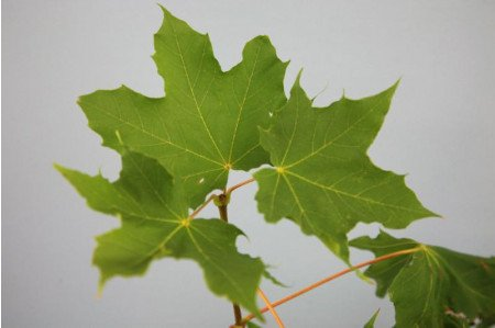 Acer platanoides leaves