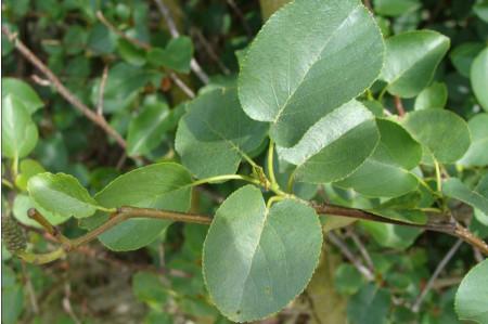 Italian Alder Leaves