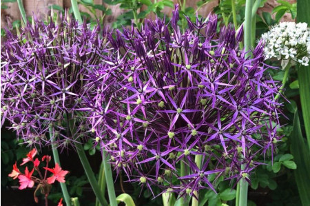 Christophii (Allium hollandicum 'Christophii') allium bulbs