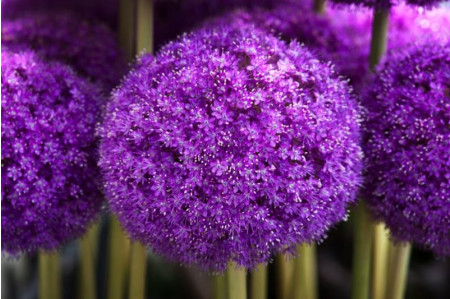 Allium giganteum flowers close up
