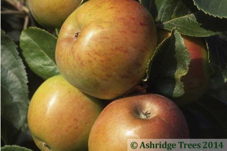 Apple Trees for the North & Scotland