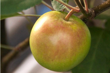 Crispin Apples for Sale