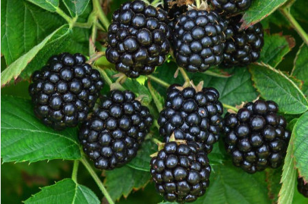 Loch Ness Blackberries for Sale
