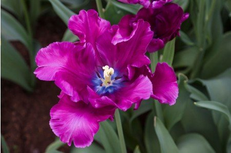Blue Parrot Exotic Tulip