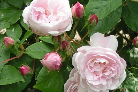 Blush Noisette Climbing/Shrub Rose