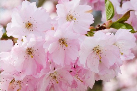 Accolade Cherry Blossom