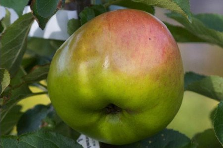 Ripe Bramley Apple