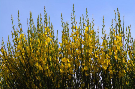 Broom - Cytisus scoparius