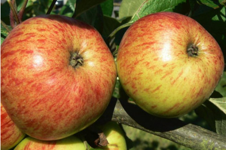 Browns Cider apples in September