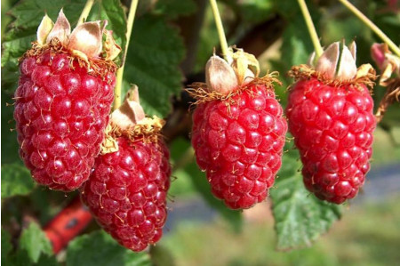 Thornless Buckingham Tayberries