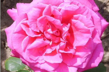 Buxom Beauty Hybrid Tea Rose