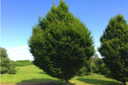 Carpinus betulus  Fastigiata Trees for Sale
