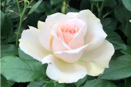 Chandos Beauty Rose