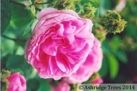 Chapeau de Napoleon Shrub Rose flower