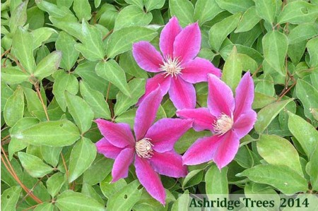 Dr Ruppell Clematis
