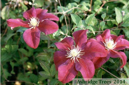 Clematis - 'Sunset'