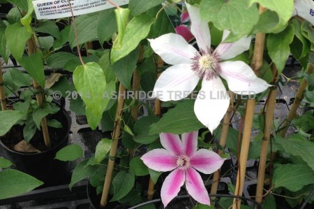 Carnaby Clematis flowers