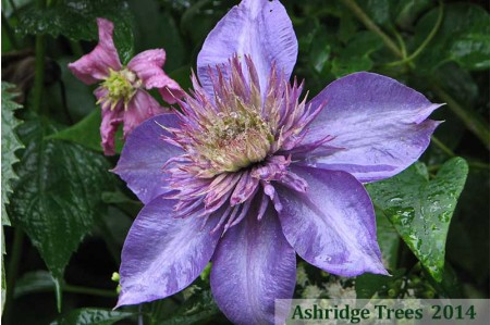 Clematis Multi Blue in July