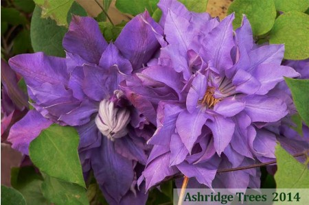 Clematis Vyvyan Pennell for sale