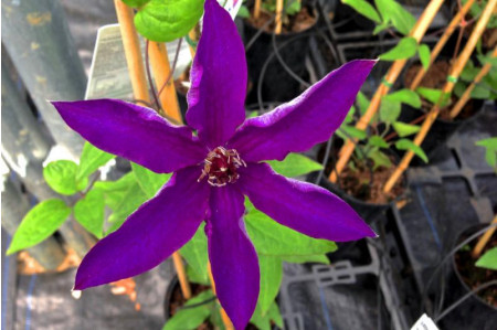 The President Clematis in flower