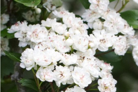 Double White English Hawthorn
